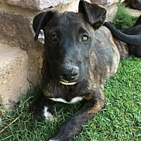 Adopt A Pet :: Lightning - Goodyear, AZ