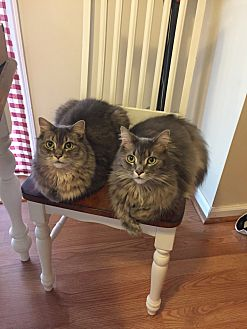 Domestic Longhair Cat for adoption in Parkville, Maryland - Mario & Luigi