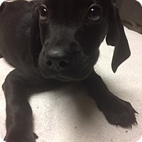 Adopt A Pet :: Muffy - St. Louis, MO