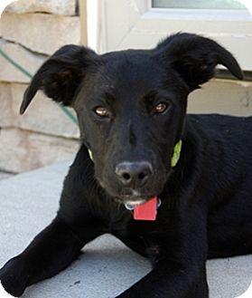 Labrador Retriever Mix Dog for adoption in Broomfield, Colorado - Renee
