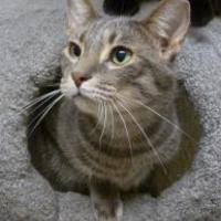 Domestic Shorthair/Domestic Shorthair Mix Cat for adoption in Westville, Indiana - Enzo