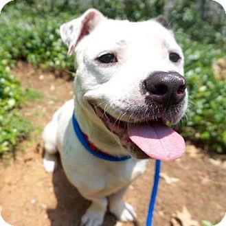 Beagle/Pit Bull Terrier Mix Dog for adoption in Atlanta, Georgia - Apollo
