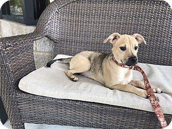 Shepherd (Unknown Type) Mix Puppy for adoption in Gadsden, Alabama - Delilah