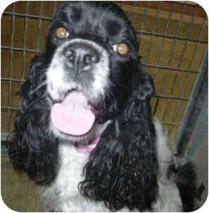 Cocker Spaniel Dog for adoption in San Clemente, California - SHELBY
