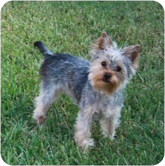 Yorkie, Yorkshire Terrier Puppy for adoption in Statewide and National, Texas - Brutus