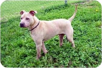 American Pit Bull Terrier Mix Dog for adoption in Sullivan, Missouri - Tucker