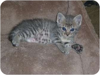 Domestic Shorthair Kitten for adoption in Chandler, Arizona - Sparky