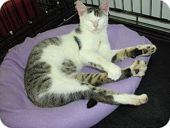 Domestic Shorthair Kitten for adoption in Speonk, New York - Vance