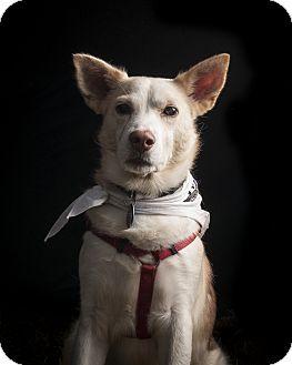 Husky/Border Collie Mix Dog for adoption in Wilmington, Massachusetts - Wasabi