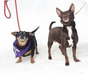 Miniature Pinscher/Chihuahua Mix Dog for adoption in Freeport, New York - Como-Tu