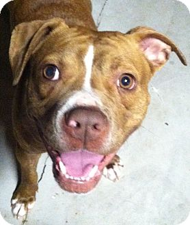 American Staffordshire Terrier Mix Dog for adoption in Hadley, Michigan - Piper **COURTESY POST**