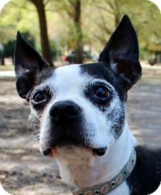Boston Terrier Mix Dog for adoption in North Augusta, South Carolina - BUDDY BOB