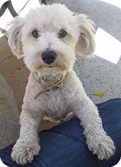 Maltese/Poodle (Miniature) Mix Dog for adoption in Salt Lake City, Utah - VERN