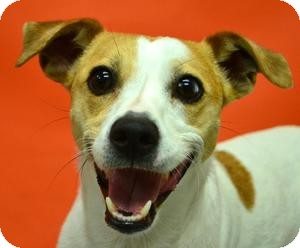 Jack Russell Terrier Dog for adoption in Dallas/Ft. Worth, Texas - Karma in DFW