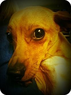Dachshund/Chihuahua Mix Dog for adoption in Yelm, Washington - Hex
