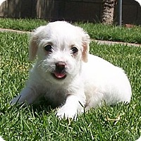 Adopt A Pet :: Tilly - La Habra Heights, CA