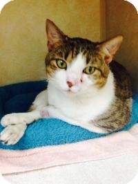 Domestic Shorthair Cat for adoption in Baltimore, Maryland - Amadeus