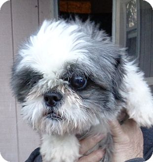 Shih Tzu Dog for adoption in Crump, Tennessee - Patty Sue