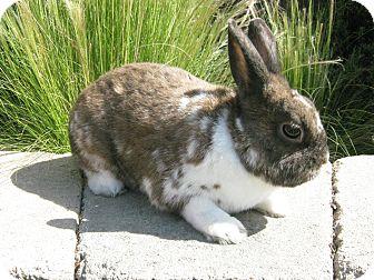 Dwarf for adoption in Bonita, California - Milkshake