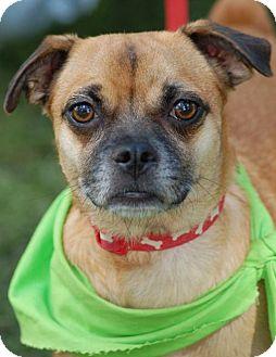 Pug/Chihuahua Mix Dog for adoption in Phoenix, Arizona - Drifter