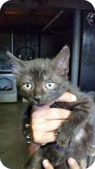 Domestic Shorthair Kitten for adoption in Putnam, Connecticut - Crosby