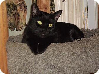 Domestic Shorthair Cat for adoption in Acushnet, Massachusetts - Sphinx