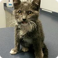 Adopt A Pet :: Bloo - Bentonville, AR