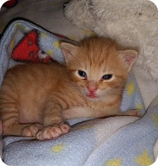 Domestic Shorthair Kitten for adoption in Douglas, Wyoming - Lucky