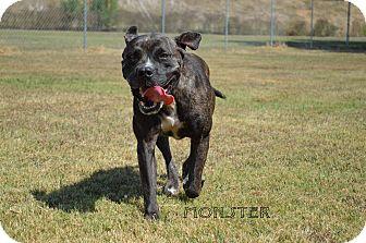 Pit Bull Terrier Mix Dog for adoption in Texarkana, Arkansas - Monster