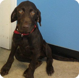 German Wirehaired Pointer Mix Puppy for adoption in Knoxville, Iowa - Gracie