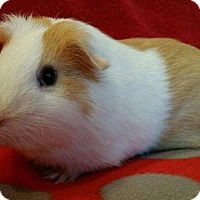 Adopt A Pet :: Gordon - Highland, IN