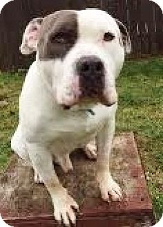 American Staffordshire Terrier/Boxer Mix Dog for adoption in Snohomish, Washington - Pete, adorable smarty!