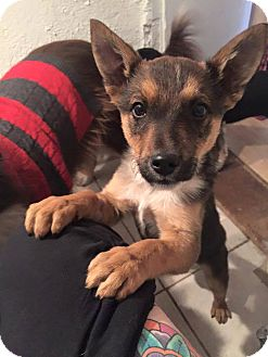 German Shepherd Dog/Terrier (Unknown Type, Medium) Mix Puppy for adoption in Corrales, New Mexico - Gino