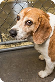 Beagle Mix Dog for adoption in Greensburg, Pennsylvania - Tyson
