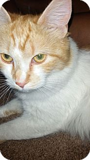 Domestic Shorthair Cat for adoption in Monrovia, California - Laila