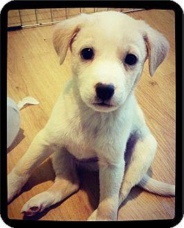 Labrador Retriever Mix Puppy for adoption in Grand Bay, Alabama - Trenton