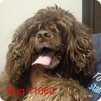 Adopt A Pet :: Bug - Greencastle, NC