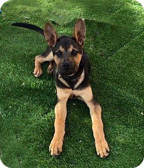 German Shepherd Dog Mix Puppy for adoption in Phoenix, Arizona - LAMBEAU