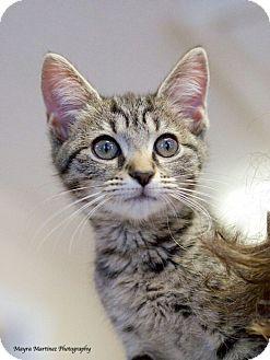 Domestic Shorthair Kitten for adoption in Huntsville, Alabama - Simone