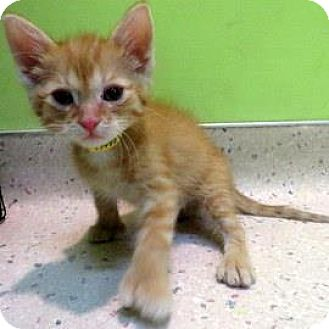Domestic Shorthair Kitten for adoption in Janesville, Wisconsin - Clifford