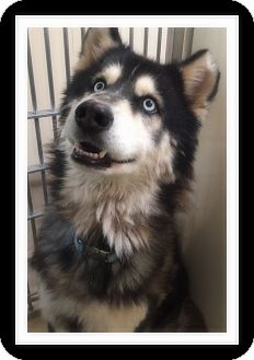 Husky Mix Dog for adoption in Winchester, California - LANCE