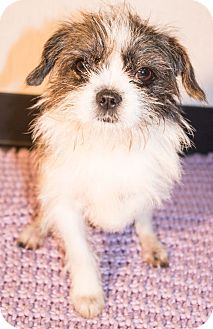 Shih Tzu Mix Dog for adoption in Savannah, Georgia - Jason