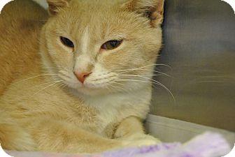 Domestic Shorthair Cat for adoption in Windsor, Virginia - Khaki
