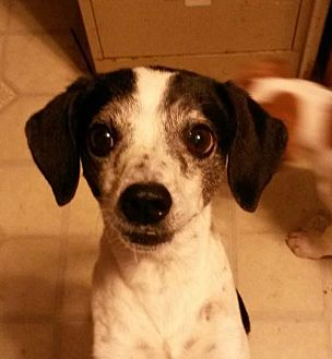 Jack Russell Terrier Mix Dog for adoption in Lakeport, California - Bessie