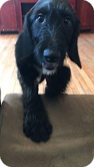 Labrador Retriever/Schnauzer (Standard) Mix Puppy for adoption in Pompton Lakes, New Jersey - chip