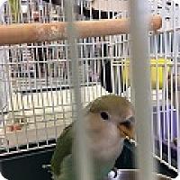 Adopt A Pet :: Pat - St. Louis, MO