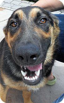 German Shepherd Dog Dog for adoption in Oakley, California - KayDee