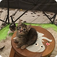 Domestic Shorthair Kitten for adoption in West Palm Beach, Florida - Cygnus