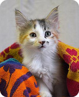 Calico Kitten for adoption in Savannah, Georgia - Cheerwine