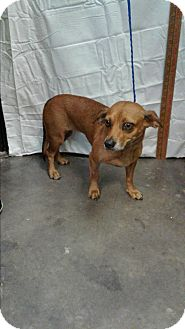Dachshund/Chihuahua Mix Dog for adoption in Barnwell, South Carolina - Cookie 2